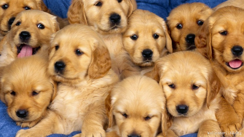 siblings-golden-retriever-puppies-852x480