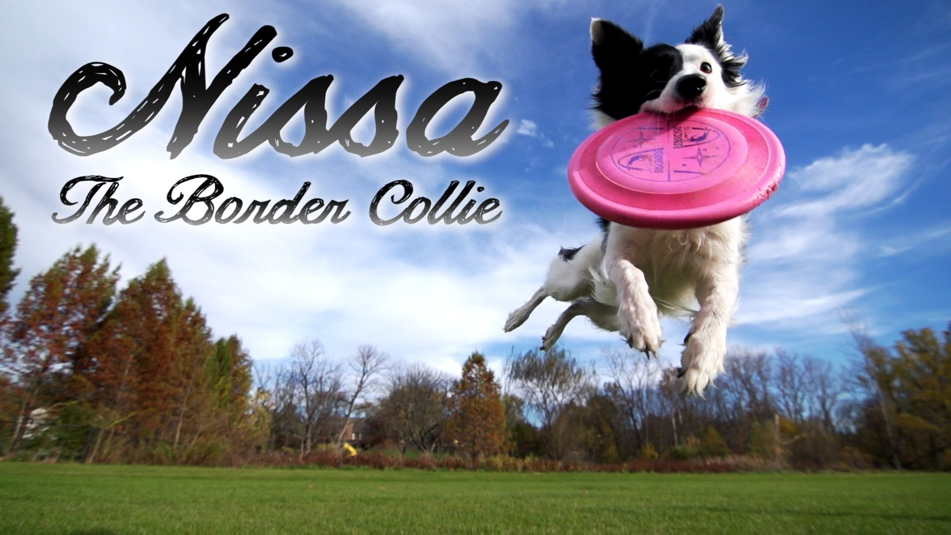 border-collie-parkour-tricks